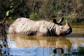 One-horned Rhinoceros at Chitwan National Park, Nepal. Photo: IUCN Nepal