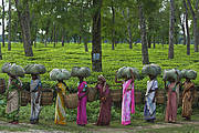 At a tea plantation bordering Kaziranga National Park, women workers tote freshly picked leaves to be processed. Photo: IUCN Photo Library © Steve Winter