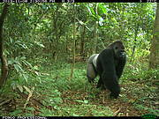 Cross River gorilla (Gorilla gorilla ssp. diehli) Photo: WCS