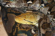 Indonesia, Malaysia and Viet Nam are the main source of python skins, with China, Thailand and Viet Nam all producing python skins through farming. Photo: Daniel Natusch / IUCN