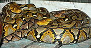 Southeast Asia's pythons, the Reticulated Python (Python reticulatus) and the Burmese Python (Python molurus bivittatus) are two of the world's largest snakes. Photo: Daniel Natusch / IUCN
