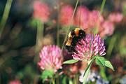 Bombus hyperboreus is the second largest bumblebee of Europe Photo: Göran Holmström