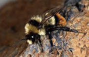 Changes in land use and agricultural practices that result in the loss of the species' natural environment represent a serious threat to many bumblebees in Europe Photo: Pierre Rasmont