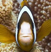 Great Barrier Reef anemone fish Photo: IUCN Photo Library c Giles Winstanley