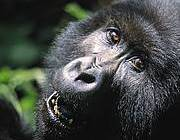 Gorilla at Virunga National Park, DRC. Photo: Worldpress