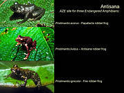 Antisana is an Alliance for Zero Extinction site for three threatened amphibians. Photo: Amphibian Survival Alliance