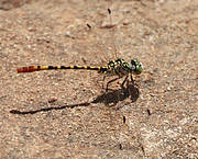 Austroepigomphus turneri - endemic Australian dragonfly predicted to be highly threatened by climate change. Photo: Alex Bush