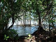 Mangroves, Tetepare, Solomon Islands. Photo: IUCN