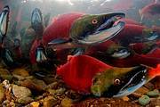 Sockeye Salmon (Oncorhynchus nerka). Photo: Todd Mintz/www.tmintz.ca