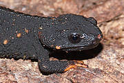 Anderson's Crocodile Newt (Echinotriton andersoni). Photo: Henk Wallays