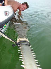 Colin Simpfendorfer tagging Smalltooth Sawfish (Pristis pectinata) November 2006, Florida Bay, Everglades National Park. Photo: Colin Simpfendorfer