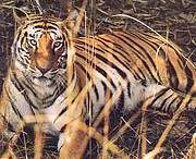 Tiger at Chitwan National Park, Nepal. Photo: IUCN Nepal