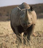 Black Rhinoceros (Diceros bicornis). Photo: Sue Mainka