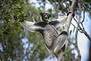 Indri (Indri indri). Photo: Nick Garbutt