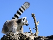 Ring-tailed Lemur (Lemur catta) - Endangered. Photo: Valentina Storti