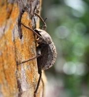 Frigate Island Giant Tenebrionid Beetle (Polposipus herculeanus) - Vulnerable. Photo: Julie Gane