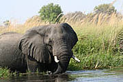 African elephant in Botswana's Okavango Delta. Photo: Alicia Wirz