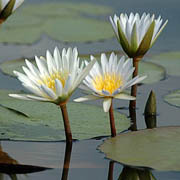 Duba lilies, Okavango delta. Photo: Eliot Taylor
