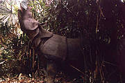 A rarely seen Critically Endangered Javan Rhino Photo: WWF Indonesia