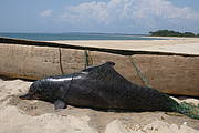 A juvenile humpback dolphin killed by a coastal, artisanal gillnet Photo: T. Collins, WCS
