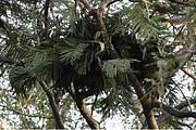 Fresh nest in Faroba Tree (Parkia biglobosa) Photo: Chimbo