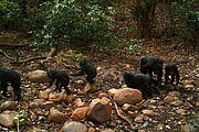 Chimpanzee Family taking A Stroll infront of a Trail Camera Photo: Chimbo