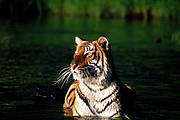Tiger in the Sundarbans. Photo: Rubaiyat Mansur Mowgli & Elisabeth Fahrni Mansur