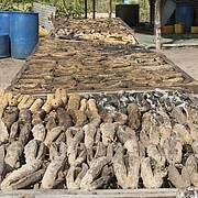 Harvested bêche-de-mer drying in a Pacific Island village. Photo: Juergen Freund/WWF