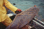 Despite progress to mitigate bycatch in shrimp and fin fish nets, illegal gill nets for totoaba now also threaten the vaquita. Photo: Cristian Faezi and Omar Vidal