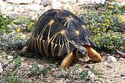 Radiated Tortoise (Astrochelys radiata). Photo: Anders Rhodin