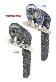 Mittermeier's Tapajos Saki (Pithecia mittermeieri). Image: Stephen Nash, Conservation International