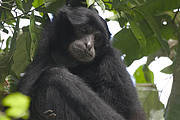 Siamang: one of several species also found in similar habitat Photo: WCS