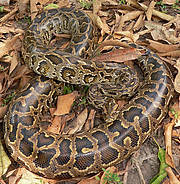 Burmese Python (Python bivittatus). Photo: Mark Auliya