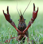 Red Swamp Crayfish (Procambarus clarkii). Photo: Jordi Roy Gabarra