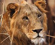 African Lion (Panthera leo). Photo: Ralph Buij