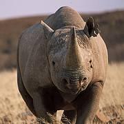 Rhinoceros in the Kunene National Park, Namibia. Photo: Sue Mainka