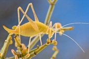Brinckiella arboricola - Endangered. Photo: Piotr Naskrecki