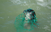 Entanglement in fishing nets threatens younger seals in particular. Photo: CBD