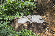 Stump of Siam rosewood felled by poachers. Photo: Ann & Steve Toon