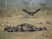 Using vulture presence to infer quality of VSZs relies on GPS tagging. Photo: Anand Chaudhary