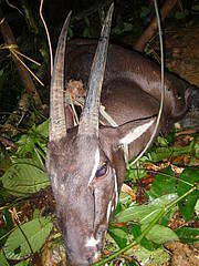 A male Saola captured near Toum stream, Phou Sithon Endangered Species Conservation Area, Xaychamphone District, Bolikhamxay Province in Lao PDR in August 2010 Photo: ©WCS/IEWMP