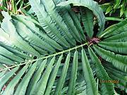 25 cycad species are at risk of extinction if illegal harvesting is not halted immediately Photo: EWT