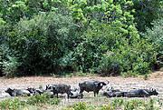 Buffalos in National Park in South Kenya Photo: Agni Boedhihartono