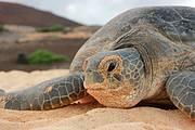 Ascension Island - Green Turtle Photo: Simon Vacher
