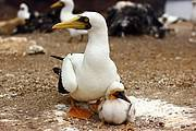 Ascension Island - Masked Booby with Chick Photo: Simon Vacher