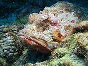The rugged seabed around Ascension Island provides excellent camouflage territory for the scorpionfish Photo: Dan Laffoley