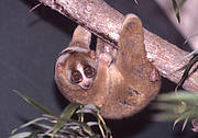 Sunda Slow Loris. Photo: David Haring