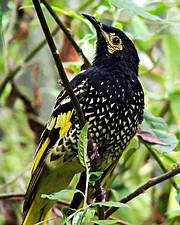 Regent Honeyeater. Photo: Tim Williams