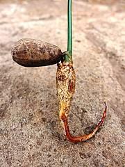 Close up of cycad's seedling Photo: Matt Cooper