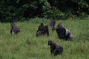 Western Lowland Gorilla Photo: Thomas Breuer / WCS
